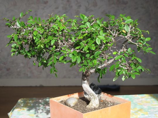 bonsai-zelkova1