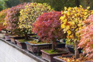 mon-bonsai-petit-par-la-taille-grand-par-le-charme-368491_w1000